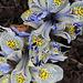 Iris x histrioïdes 'Katharine Hodgkin