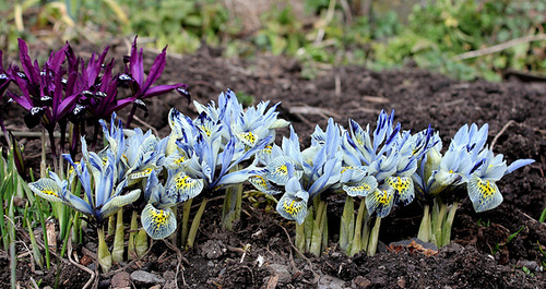 Iris x histrioïdes 'Katharine Hodgkin (2)