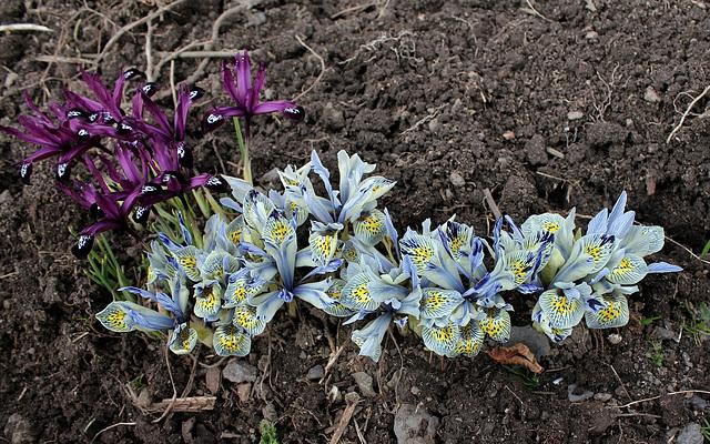 Iris x histrioïdes 'Katharine Hodgkin (3)