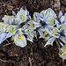 Iris x histrioïdes 'Katharine Hodgkin (5)