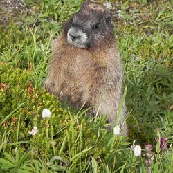 2010.09: WA: Marmots