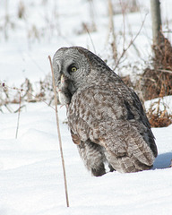 grey owl with its prey/chouette lapone avec son repas