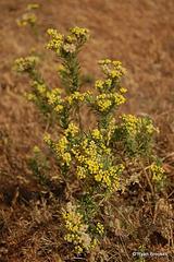 20070102-0091 Conyza stricta Willd.
