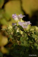 20070102-0098 Thelepaepale ixiocephala (Benth.) Bremek.