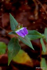 20070102-0216 Cynarospermum asperrimum (Nees) Vollesen