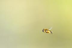 Hover Fly in flight