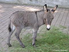 Hausesel-Fohlen (Opel-Zoo)