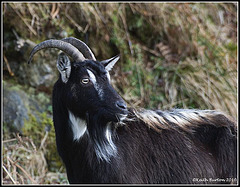 Wild Goat - Glenshiel Scotland