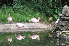 Flamingos (Opel-Zoo)