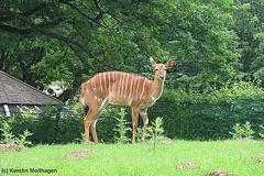 Tiefland-Nyala (Opel-Zoo)