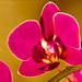 Phalaenopsis in Red (#1)