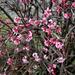 Viburnum bodnantense 'Dawn '
