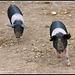 Pig attack!!!