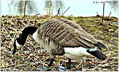 Canada goose  4 of 9