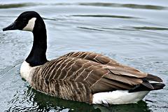 Canada goose 5 of 9