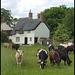 Binsey cows