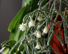 Rhipsalis pilocarpa (3)