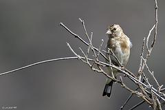 Jilguero (Carduelis carduelis parva) Juvenil