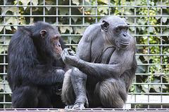 Schimpansen (Tierpark Schwaigern)