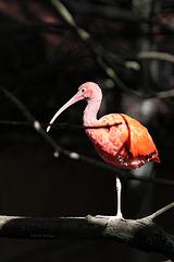 Roter Sichler (Tierpark Schwaigern)