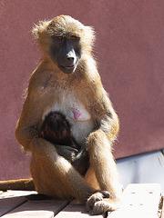 Sphinx-Paviane: Mutter und Kind (Tiergarten Nürnberg)