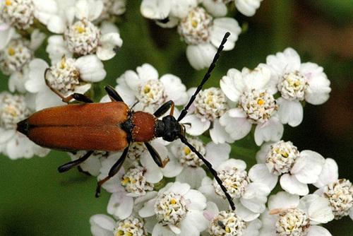 Red Flower Bug (Stictoleptura rubra)