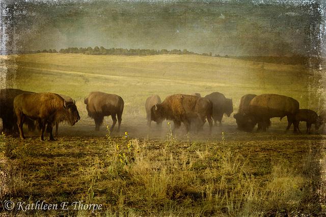 Zion Buffalo Herd - Lenabem Texture - Third Place Florida State Fair 2011