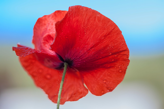 Poppy with Droplets