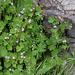 Geranium pusillum et rotundifolium