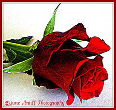 A red rose for my love