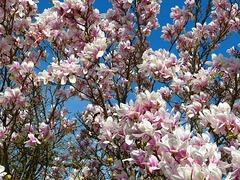 Magnolia [ON EXPLORE]