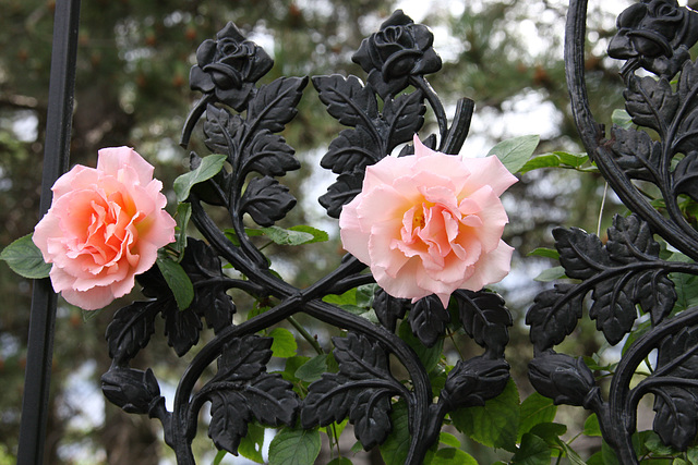 Roses on the garden gate