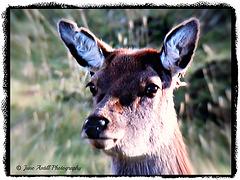 Hind deer