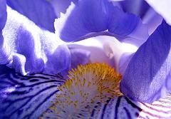 Iris Heart