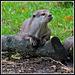 Otter on log