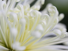 Detail of a Spider Chrysanthemum