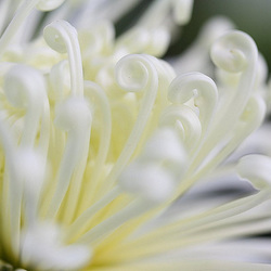 Detail of a Spider Chrysanthemum