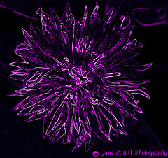 Purple Passions
