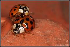 Ladybird porn........