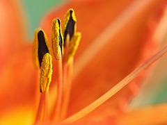 Daylily Detail