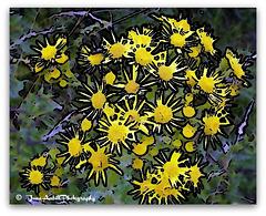 Splattered dandelions