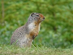 Columbian Ground Squirrel / Spermophilus columbianus