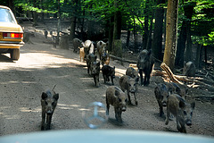 A weekend in Germany – attack of the wild boars