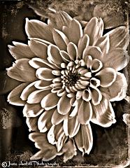 Textured chrysanthemum