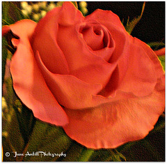 The phantom rose