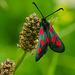 five-spot Burnet (Zygaena trifolii)