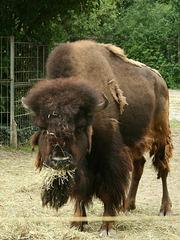 Bison 2007 (Wilhelma)