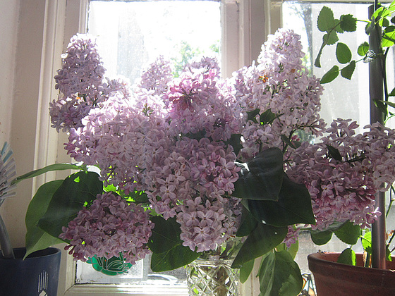 The pale lilac on my kitchen window sill