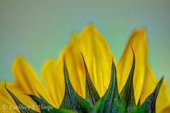 Sunflower Macro HDR