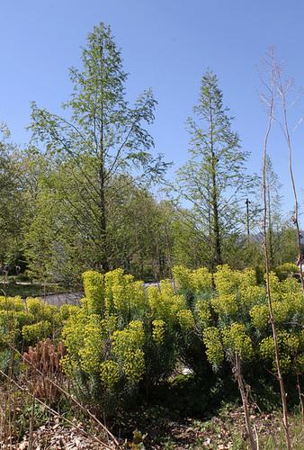 Metasequoïas et Euphorbes